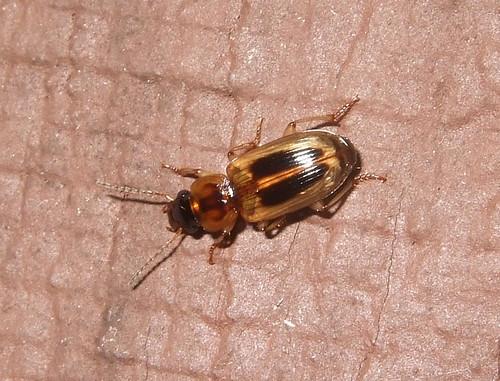 how to get beetle husks
