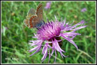 Einen Schonen Sonntag Euch Allen Blauling Lycaenidae Au Flickr