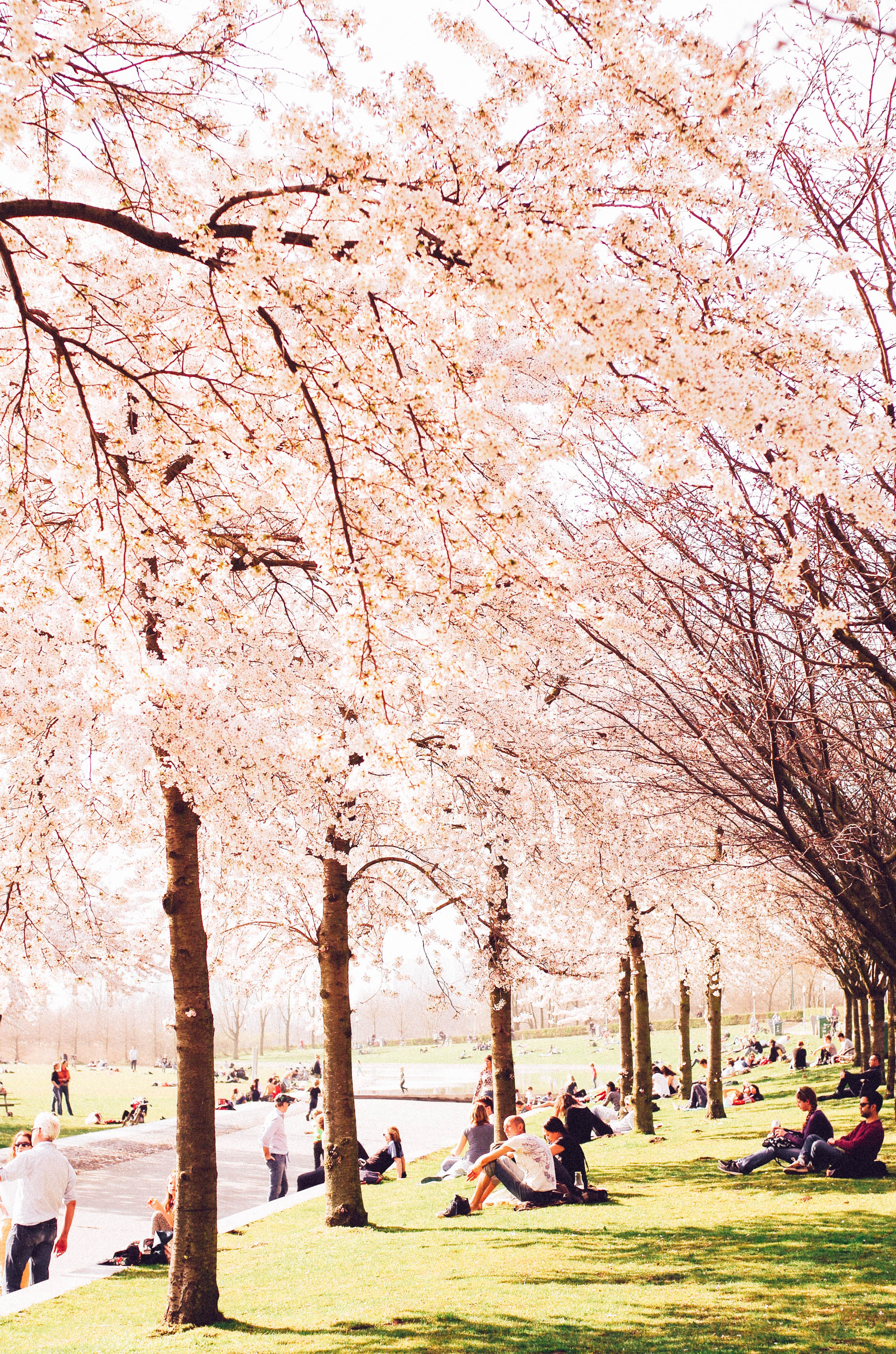 Amsterdam, Cherry Blossom in Westerpark