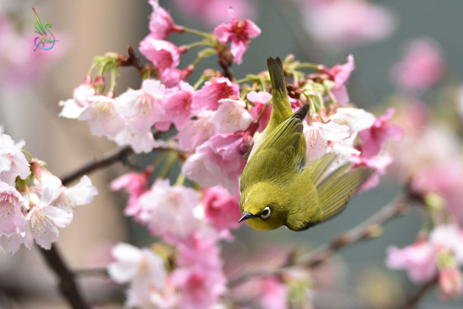 Sakura_White-eye_9851