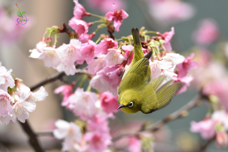 Sakura_White-eye_9851