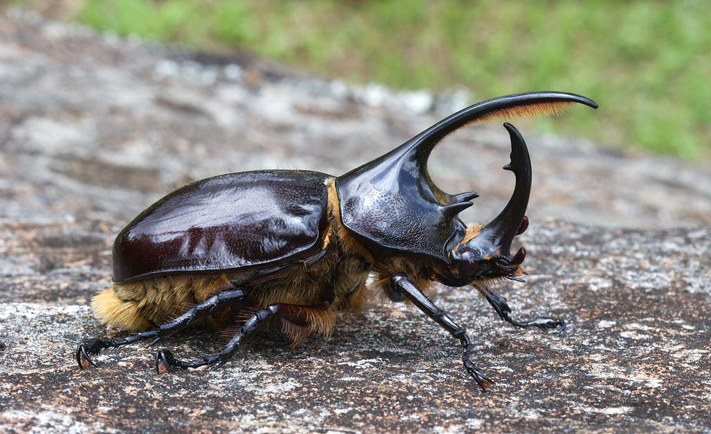 Insect Designs :: Beetles :: Dynastidae :: Dynastes neptunus ...