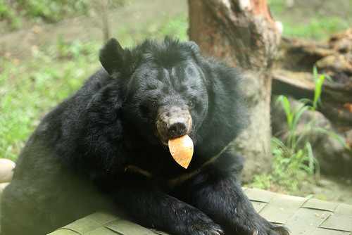 Panja, one of the oldest bears at CBRC | by Animals Asia
