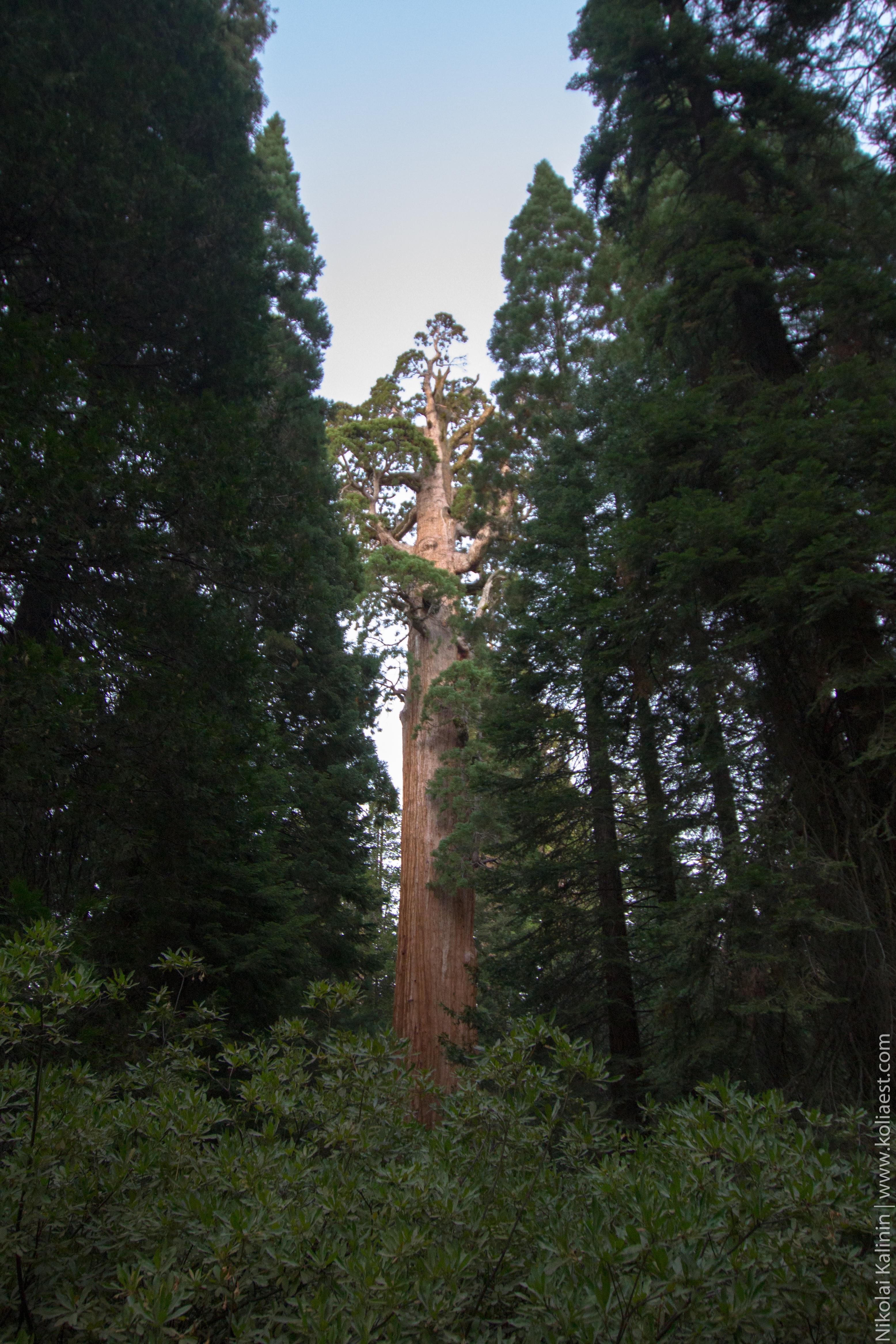 Sequoia-93