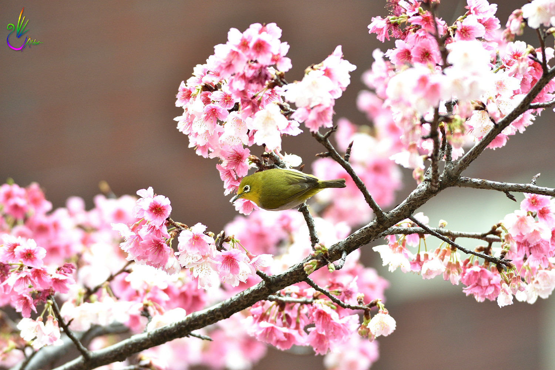 Sakura_White-eye_0633
