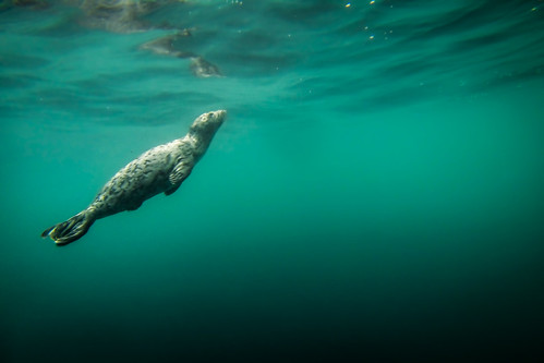 Baby Seal Underwater | For more visit my website at www ...