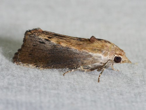 # 5622 – Galleria mellonella – Greater Wax Moth | by Wildreturn