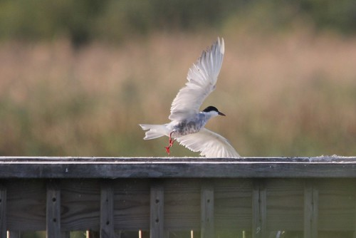 Whiskered Tern | by Birding In New Jersey
