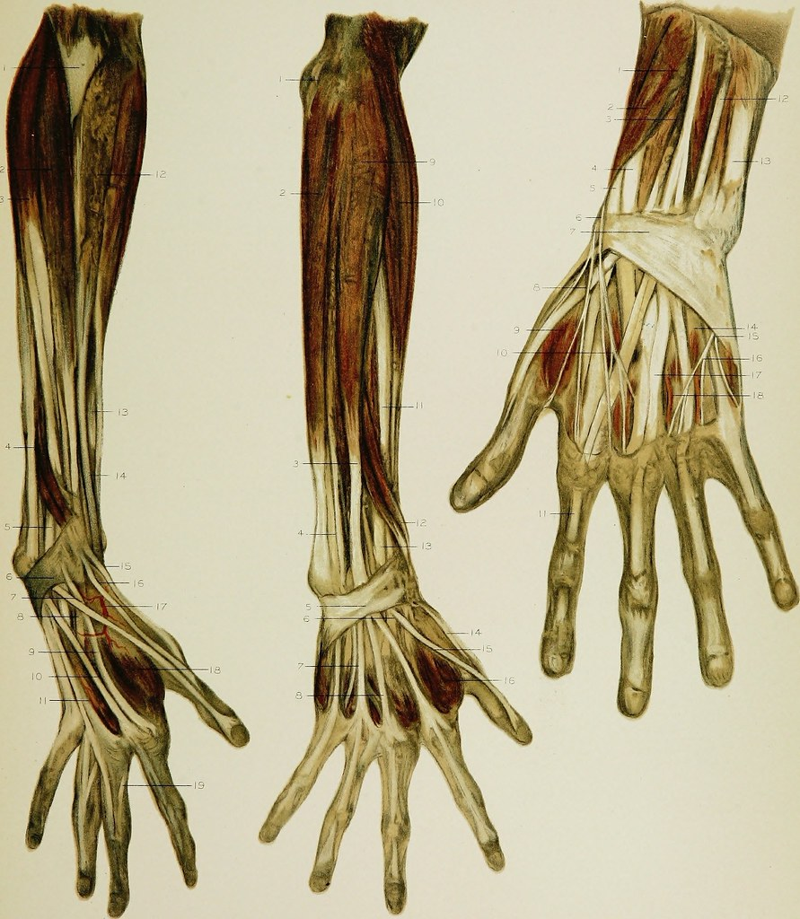 Image From Page 570 Of Regional Anatomy In Its Relation T Flickr