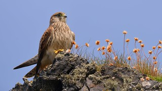 Cornish Kestrel | by Martyn William's Birds