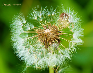 Dandelion ~~ | by Dave ***