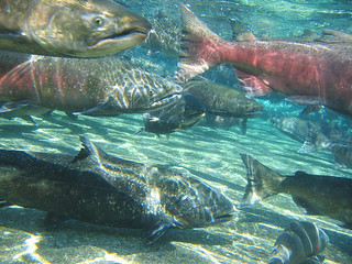 Fall Chinook | by USFWS Pacific