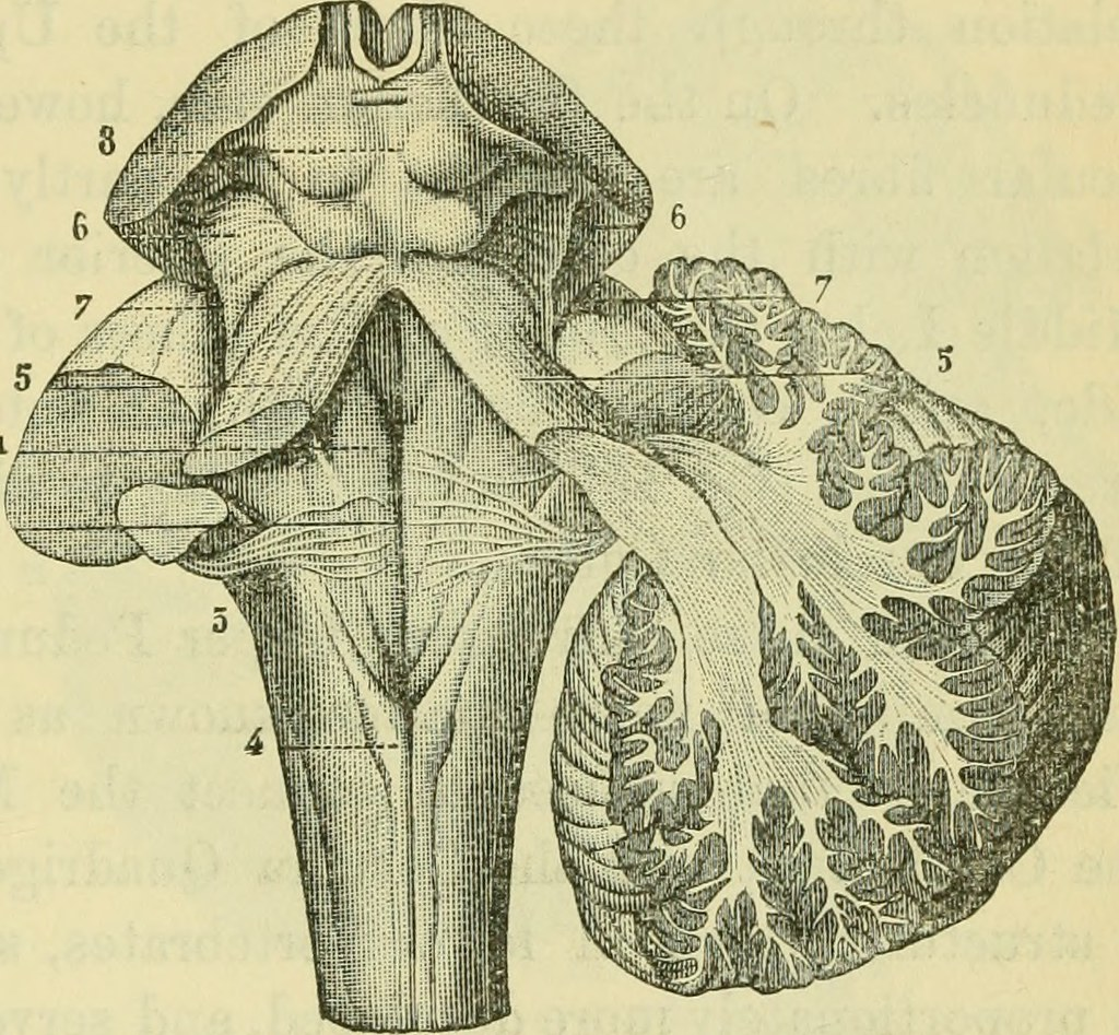 Image From Page 478 Of The Brain As An Organ Of Mind 18 Flickr