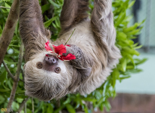 Hoffmann's two-toed sloth Gamboa Wildlife Rescue pandemonio 2017 - 23 | by Eva Blue