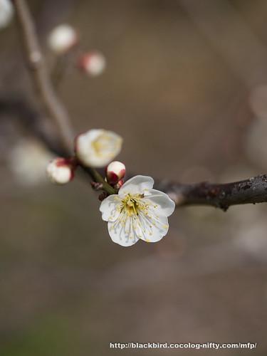 Ume blossoms 20170304 #01