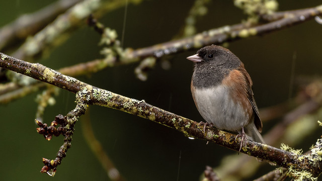 Dark Eyed Junco in the rain