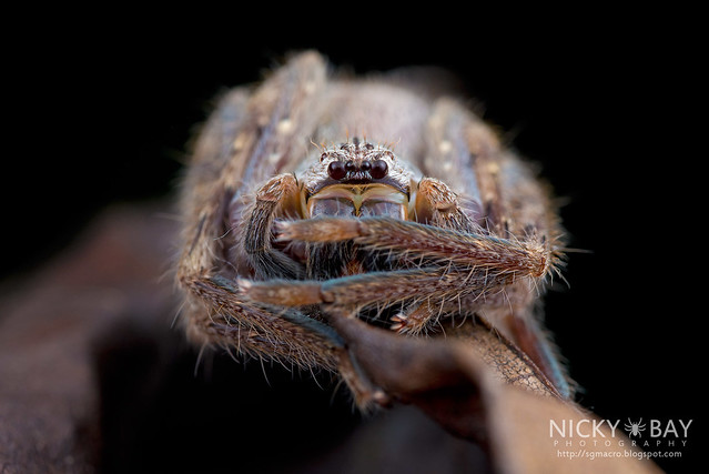 Huntsman Spider (Gnathopalystes sp.) - DSC_1801