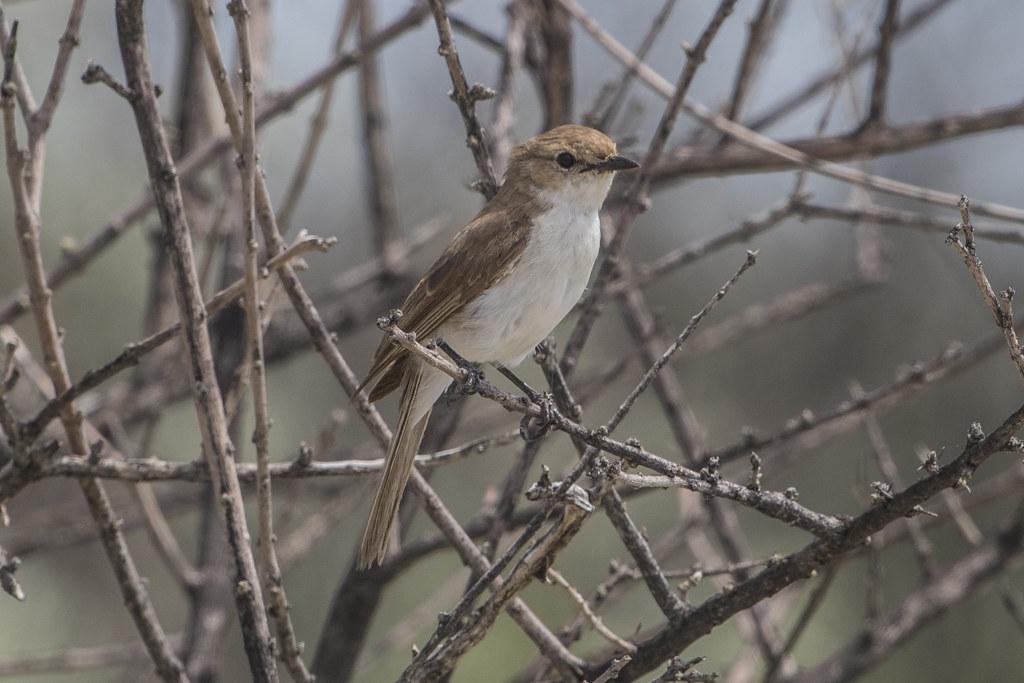 Marico Flycatcher  Bradornis Mariquensis