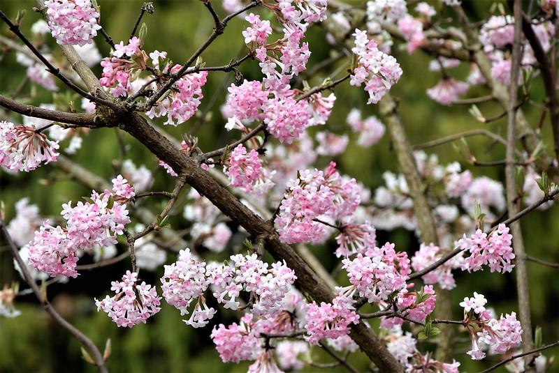 Cherry Blossom 21.03 (4)