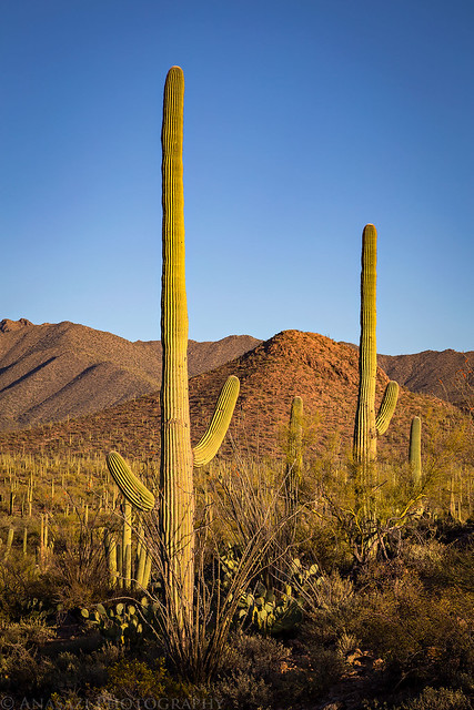 Tall Saguaro