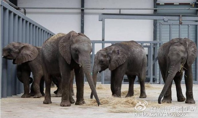 photo of captive elephants