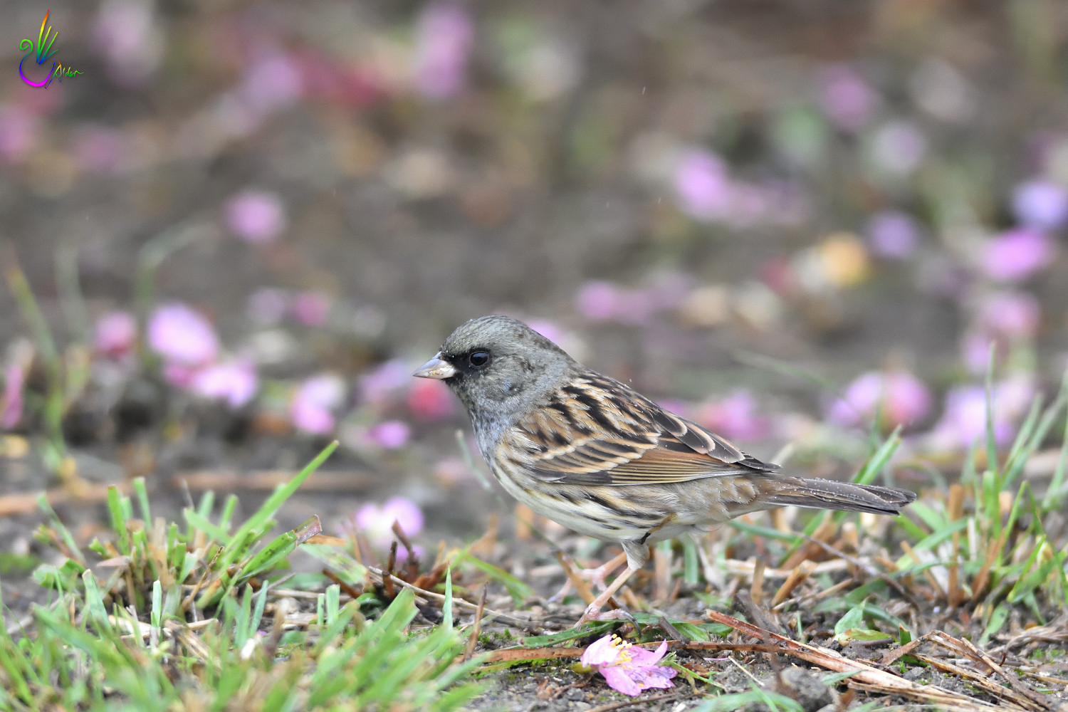 Black-faced_Bunting_7560