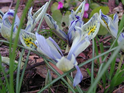 Iris winogradowii x histrioides 'Katharine Hodgkin'