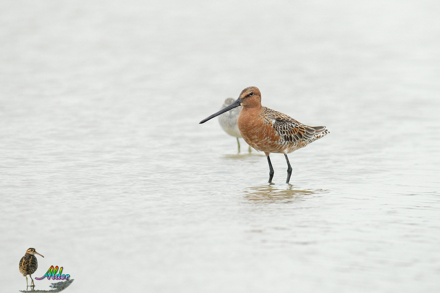 Asian_Dowitcher_6238