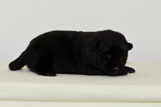 Nori-Litter2-10Days-Puppy6(female)d | by brada1878