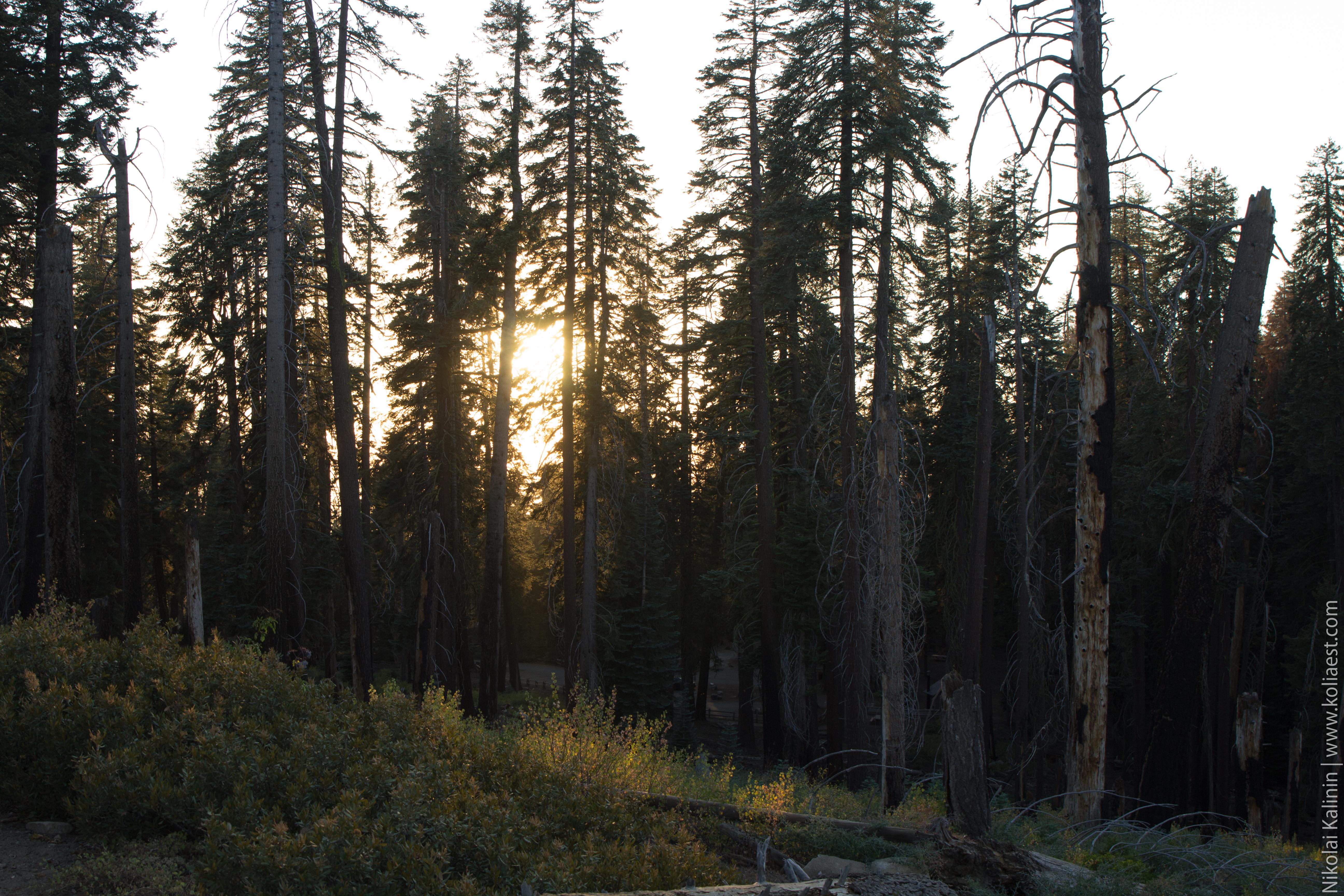 Sequoia-60