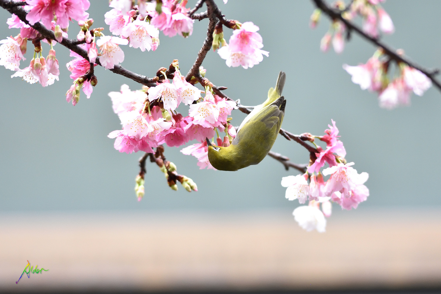 Sakura_White-eye_7949