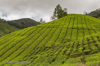 Beautiful landscapes of Cameron Highlands - tea and flower capital of Malaysia | by Phuketian.S
