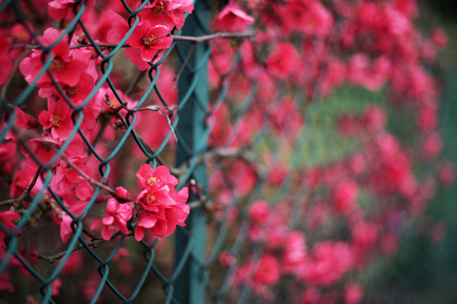 primavera timida