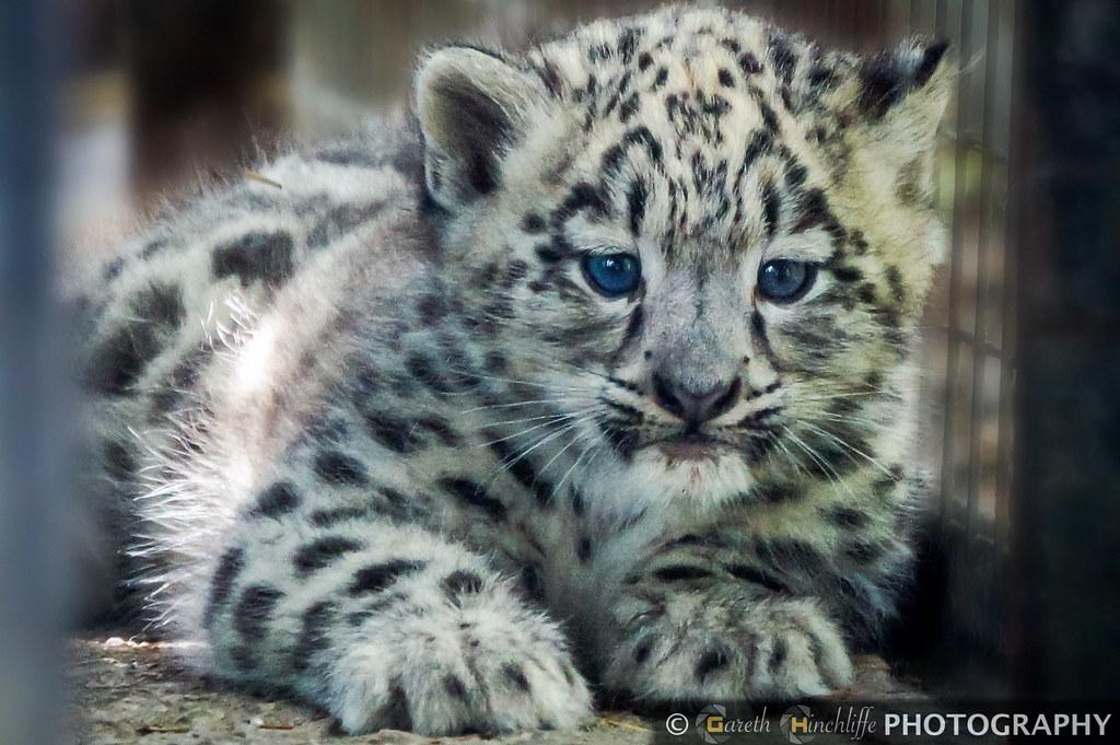 Baby Snow Leopard Lakeland Wildlife Oasis