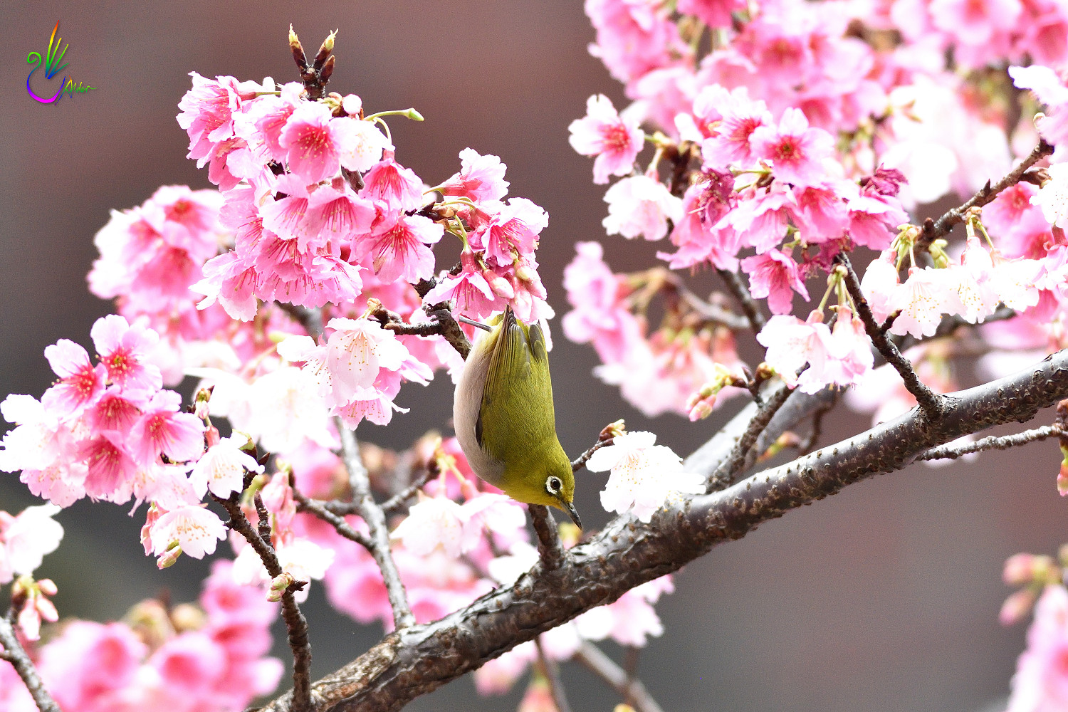 Sakura_White-eye_1407