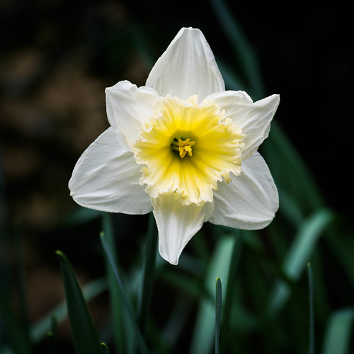 Daffodil | by Paul Kaye