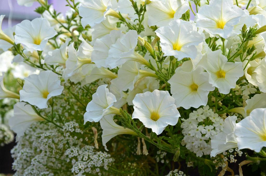 White Petunia Flowers In Spring Beautiful White Petunia Fl Flickr