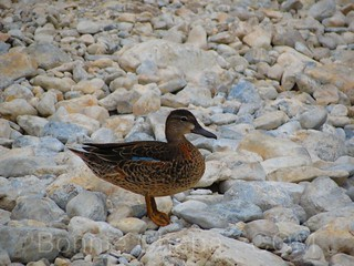Duck at Lost Maples State Park | by Bonnie Feaster Chapa Photographic Art