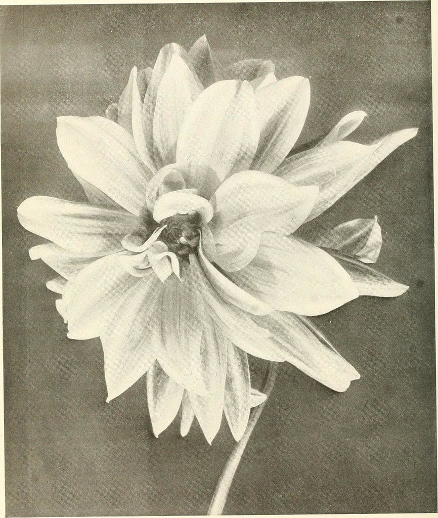 Image From Page 39 Of The Dahlia A Practical Treatise On Flickr