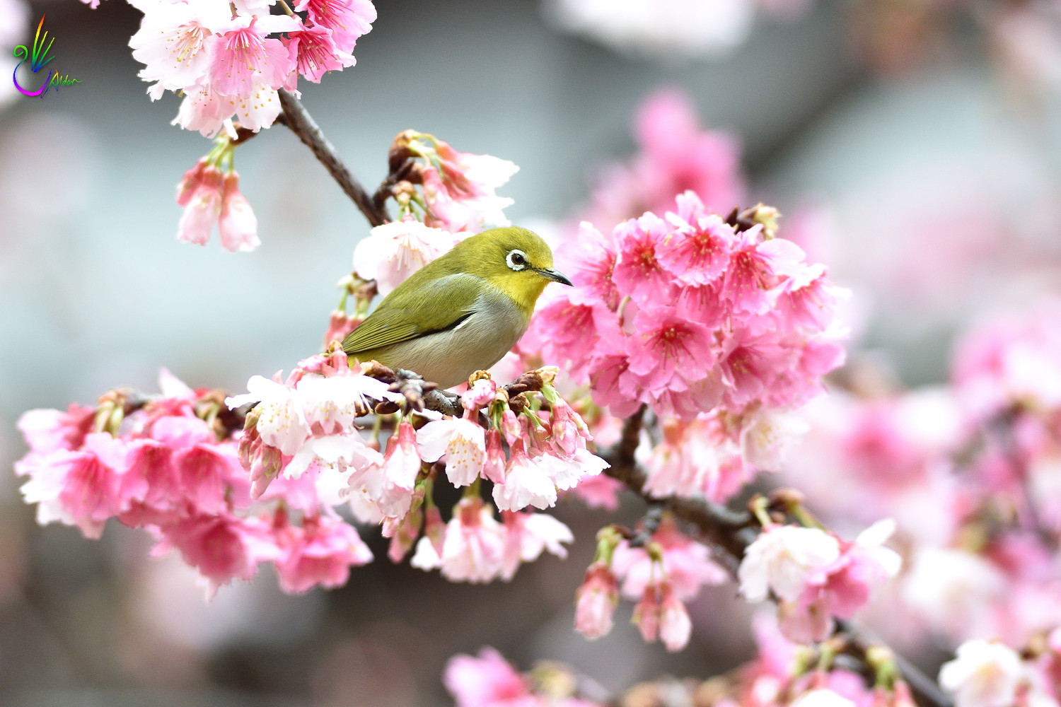 Sakura_White-eye_0576