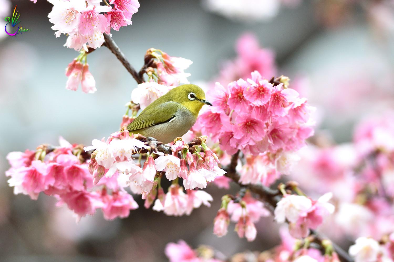 Sakura_White-eye_0576