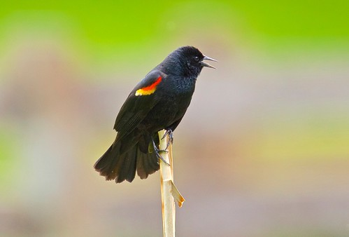 Red-Winged Blackbird | by jerrygabby1