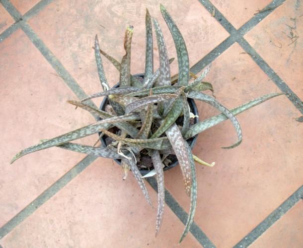 Aloe amudatensis 33268834025_ec3f58a10f_o