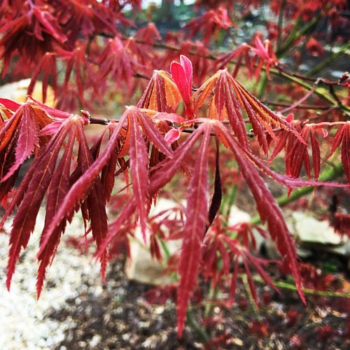 Good Morning sleepy head it's time to wake up and #Thrive. #JapaneseMaple #SleepingLeaves #Morning #Spring | by bonniestormcloud✫