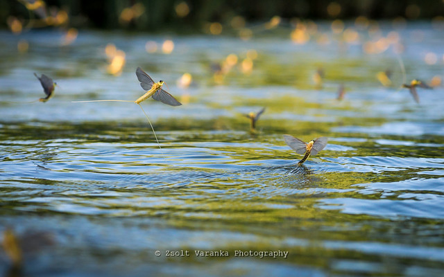 Tisza mayflies in backlight