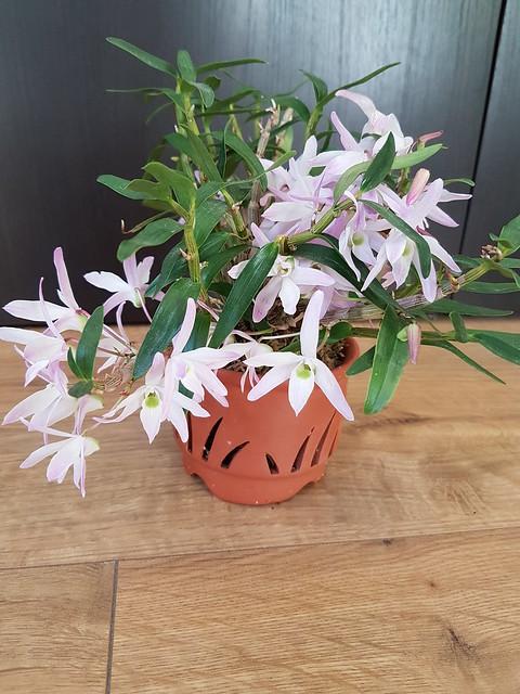 Dendrobium moniliforme 32409983283_d1362cb383_z