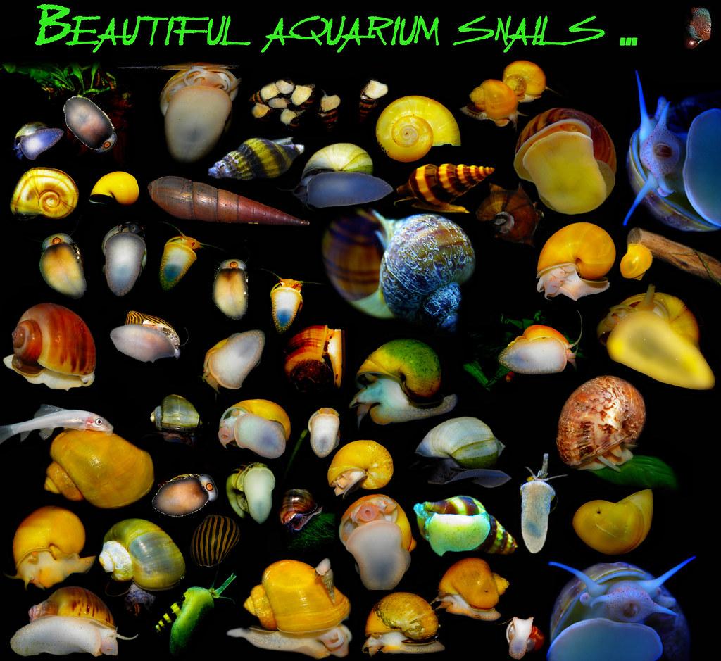 Aquarium Snails | Beautiful Aquarium Snails Andrej Jakubik Flickr