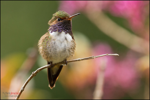 Volcano Hummingbird (Selasphorus flammula) landing | by Chris Jimenez - Take Me To The Wild