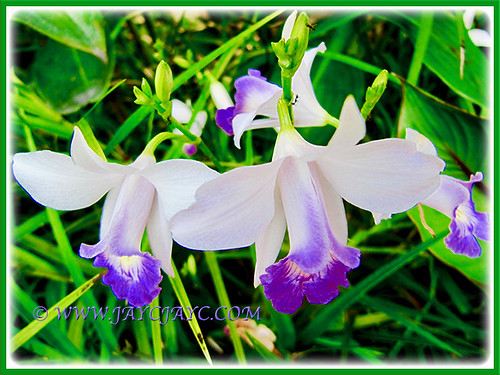 Lovely orchid-like blooms of Arundina graminifolia that flowers endlessly, 9 Jan 2017