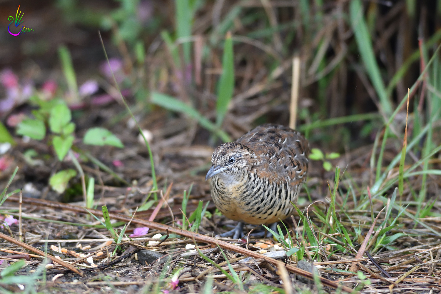 Barred_Buttonquail_7443